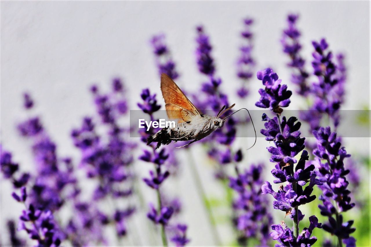 flower, flowering plant, insect, purple, one animal, plant, invertebrate, animal themes, animal, fragility, vulnerability, animal wildlife, beauty in nature, freshness, animals in the wild, petal, close-up, flower head, growth, animal wing, pollination, lavender, no people, butterfly - insect, outdoors, butterfly
