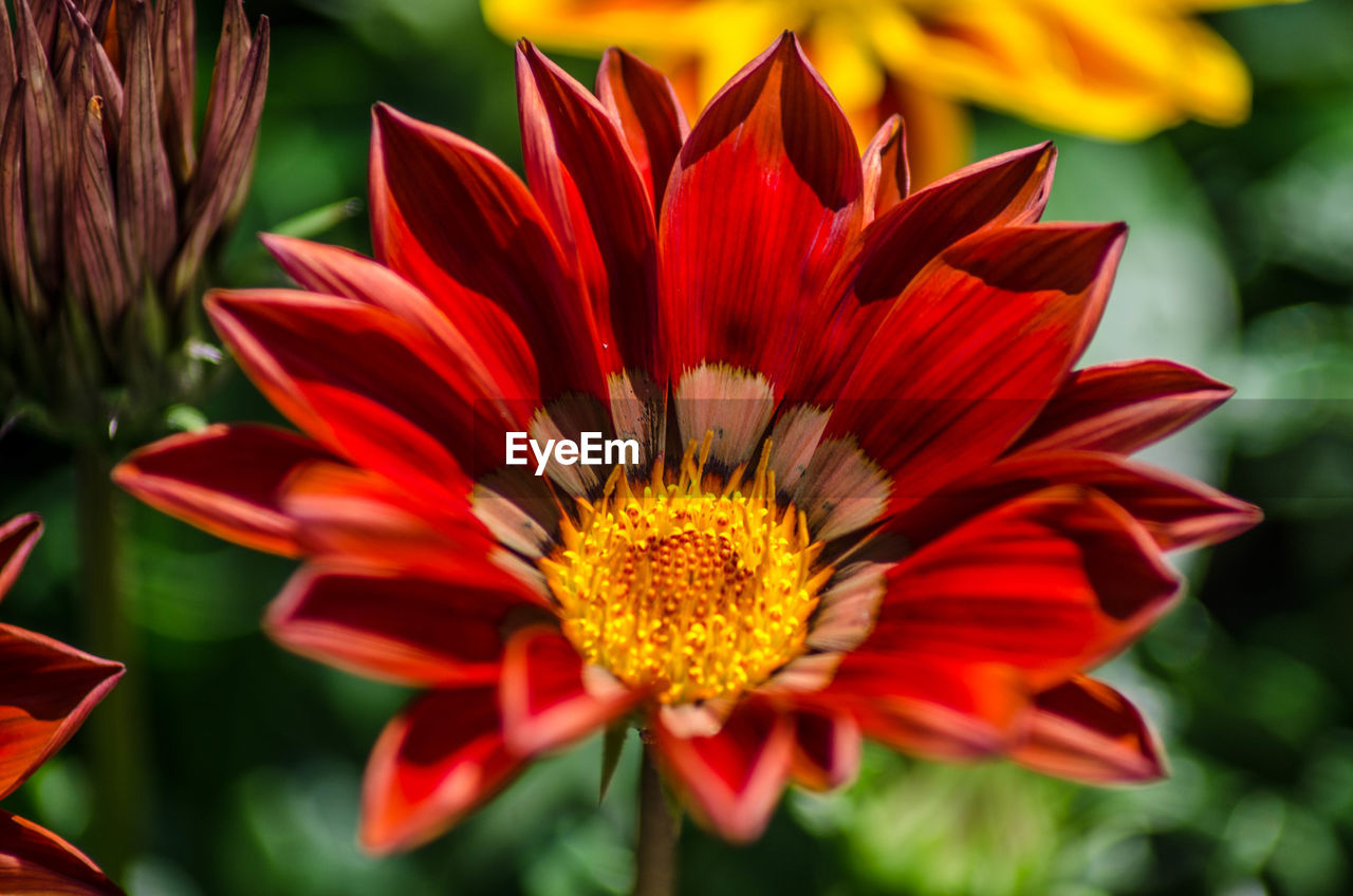 flower head, flowering plant, petal, flower, vulnerability, inflorescence, fragility, beauty in nature, freshness, plant, growth, close-up, gazania, pollen, red, focus on foreground, nature, day, no people