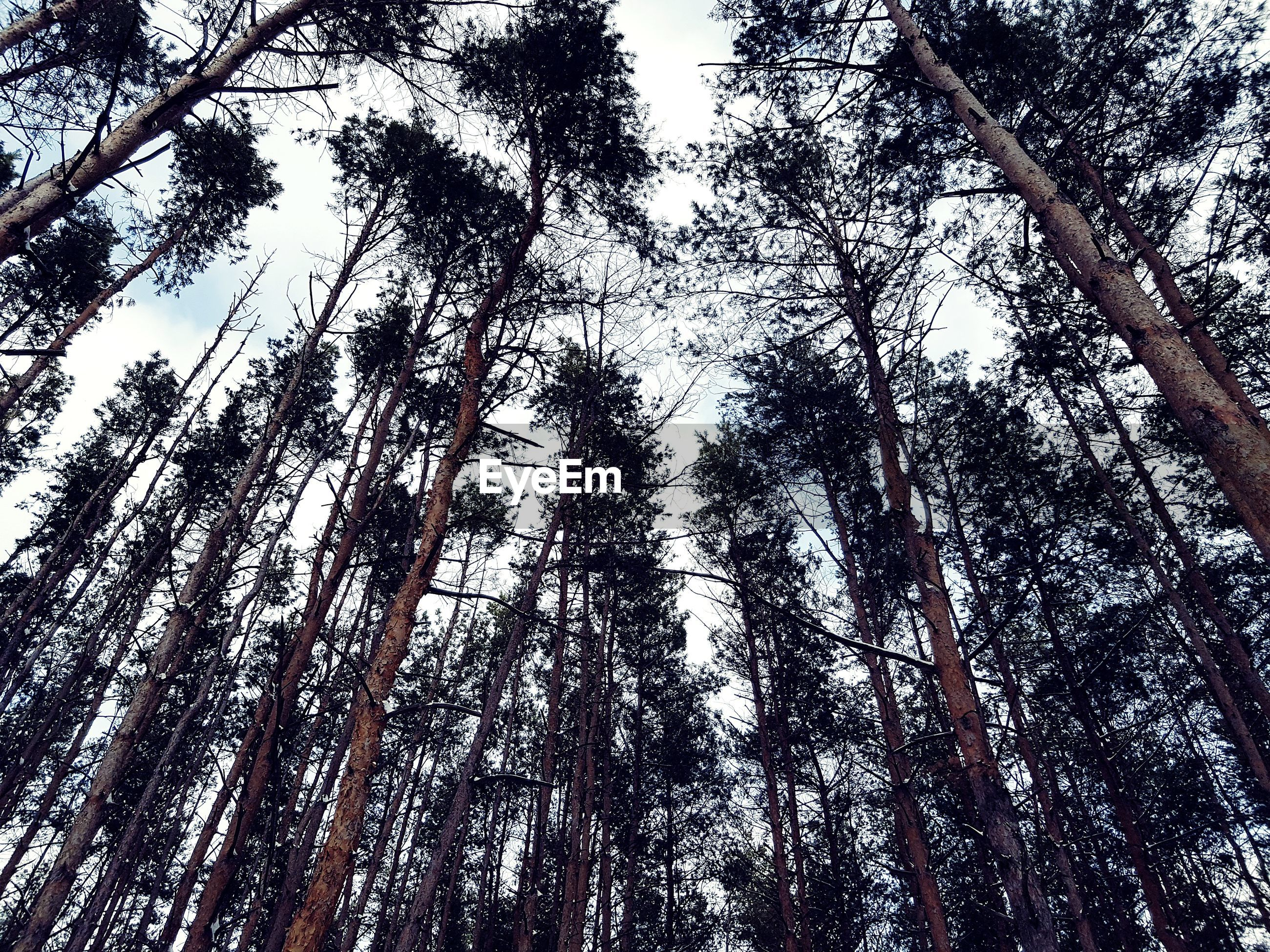 tree, low angle view, tree trunk, forest, nature, growth, beauty in nature, no people, tranquility, outdoors, woodland, day, branch, scenics, tranquil scene, sky, clear sky