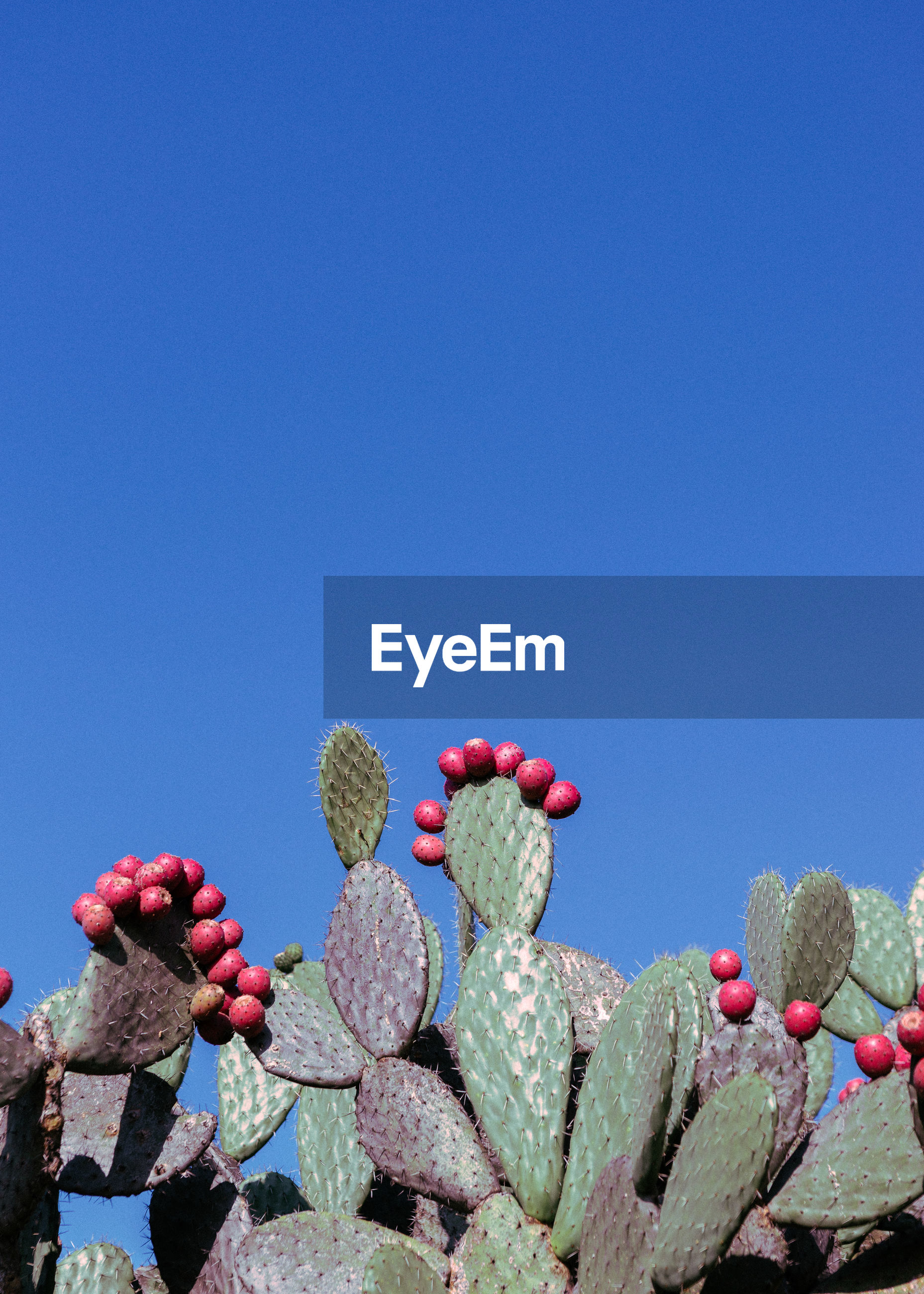 CLOSE-UP OF RED CACTUS FLOWERS AGAINST BLUE SKY