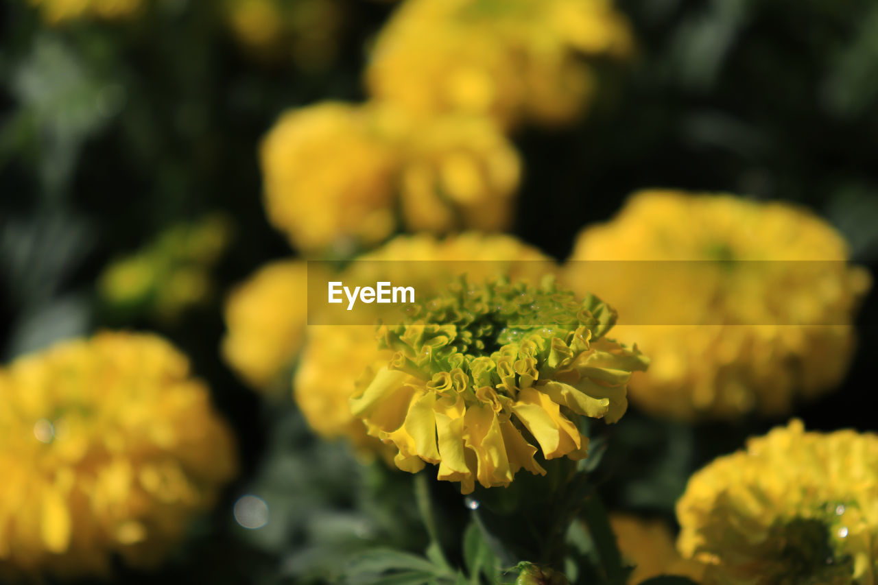 flower, flowering plant, yellow, plant, beauty in nature, freshness, vulnerability, flower head, fragility, growth, inflorescence, close-up, petal, nature, focus on foreground, no people, day, marigold, botany, selective focus, outdoors