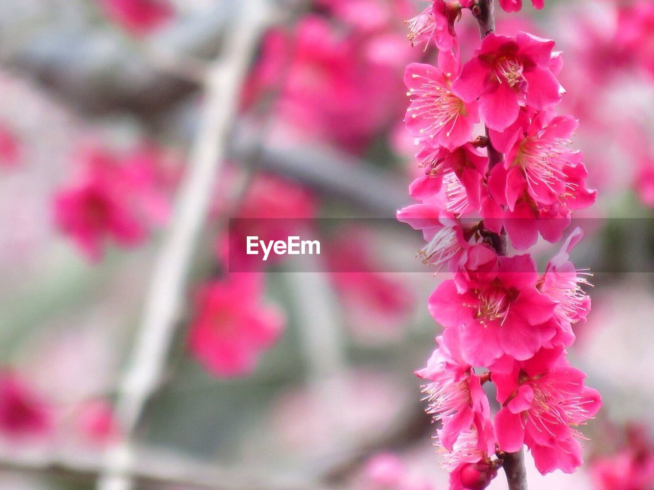 flower, fragility, growth, pink color, beauty in nature, petal, nature, freshness, day, blossom, no people, outdoors, springtime, close-up, flower head, focus on foreground, blooming, plum blossom, plant, branch, tree