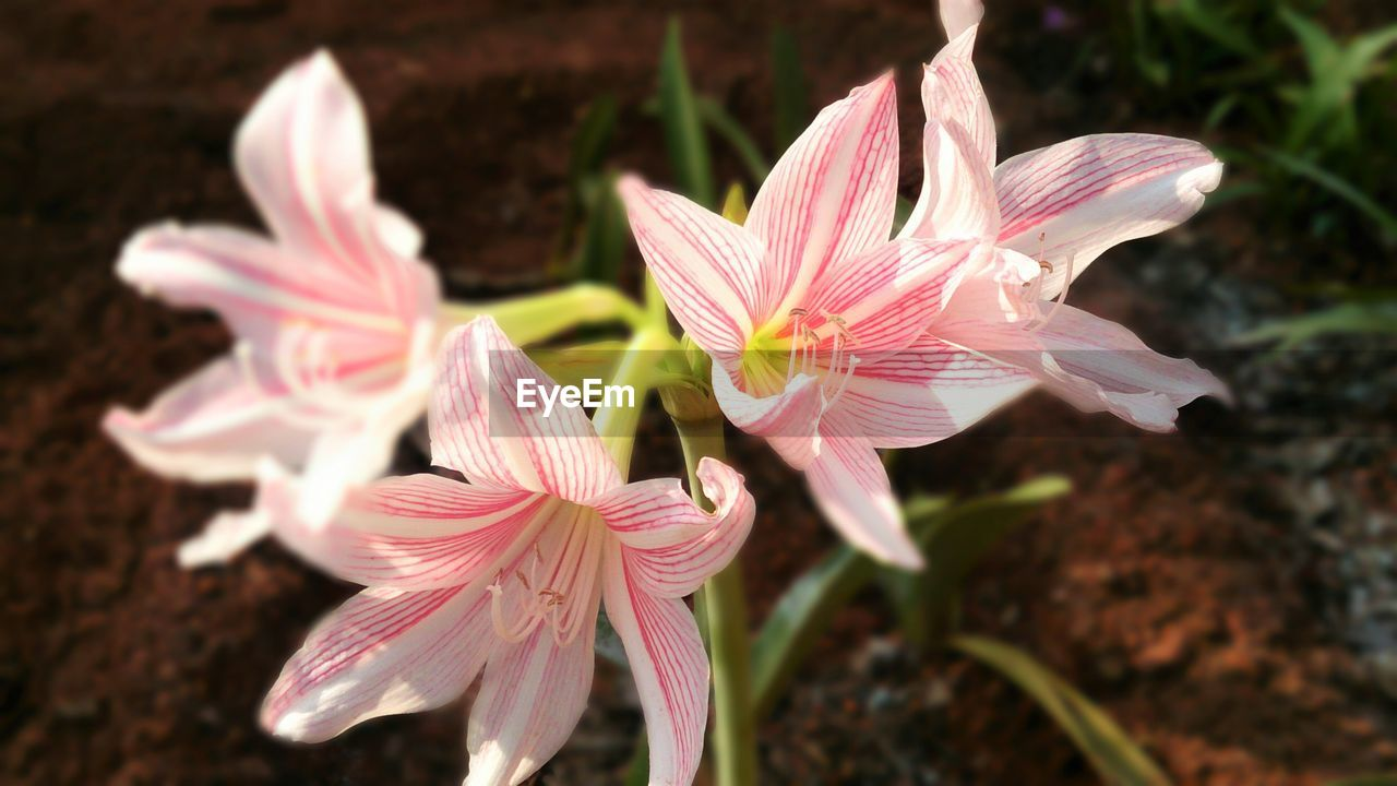 flower, petal, flower head, fragility, beauty in nature, growth, freshness, plant, nature, close-up, blooming, pink color, outdoors, day, no people, day lily