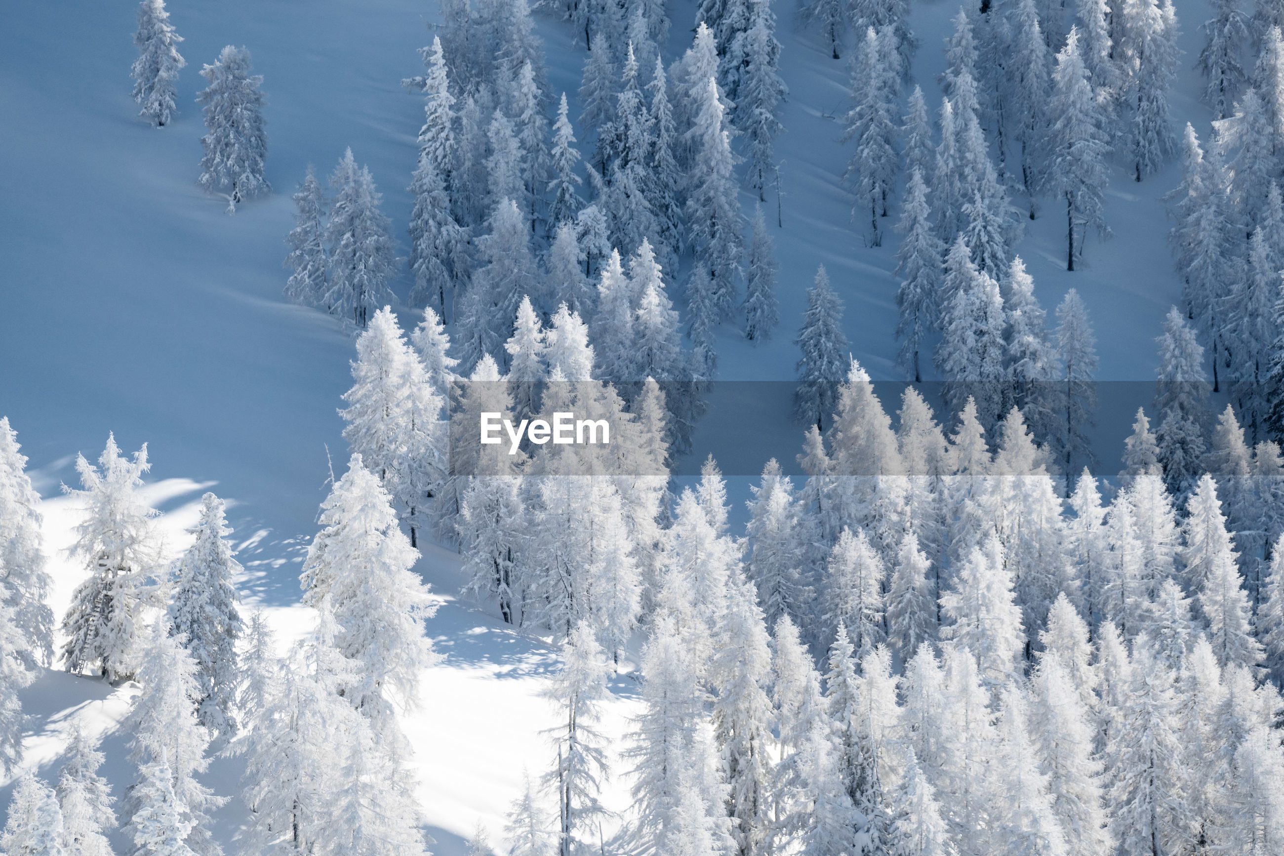 Snow covered pine trees on land