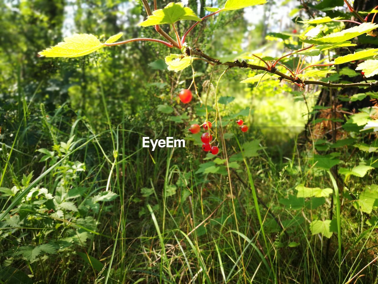 growth, nature, red, outdoors, focus on foreground, plant, day, leaf, tree, no people, beauty in nature, freshness, close-up, flower