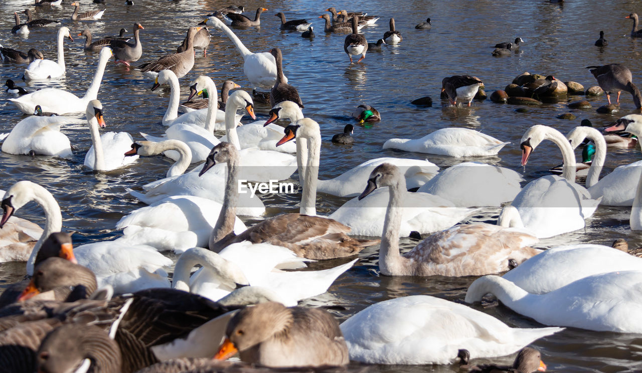 large group of animals, animals in the wild, group of animals, animal wildlife, water, vertebrate, animal themes, bird, animal, lake, swan, flock of birds, swimming, nature, day, white color, no people, mute swan, water bird