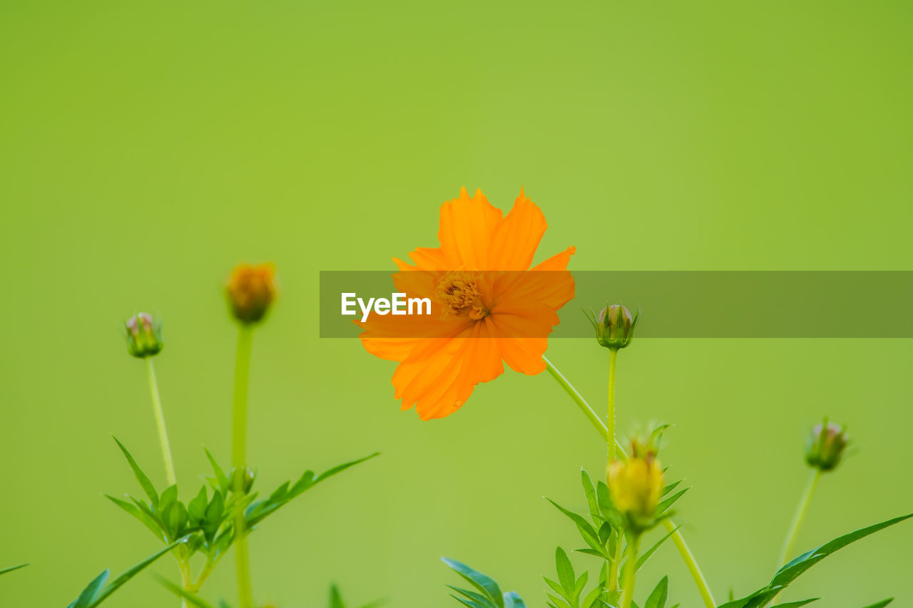 flowering plant, flower, vulnerability, freshness, plant, fragility, beauty in nature, growth, inflorescence, flower head, petal, close-up, green color, no people, cosmos flower, nature, plant stem, focus on foreground, orange color, botany, outdoors