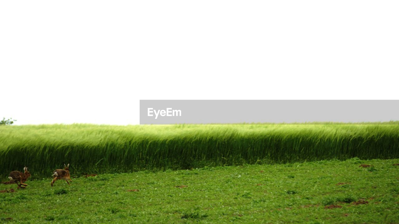 field, grass, agriculture, farm, nature, domestic animals, landscape, growth, animal themes, green color, clear sky, rural scene, livestock, grazing, mammal, day, cow, tranquility, no people, outdoors, scenics, one animal, beauty in nature