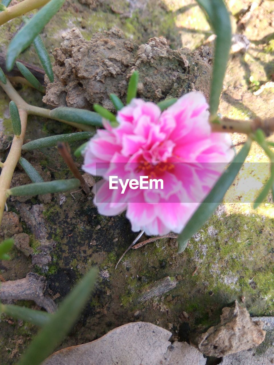 flower, growth, nature, high angle view, pink color, no people, beauty in nature, outdoors, plant, fragility, petal, day, freshness, flower head, close-up, blooming