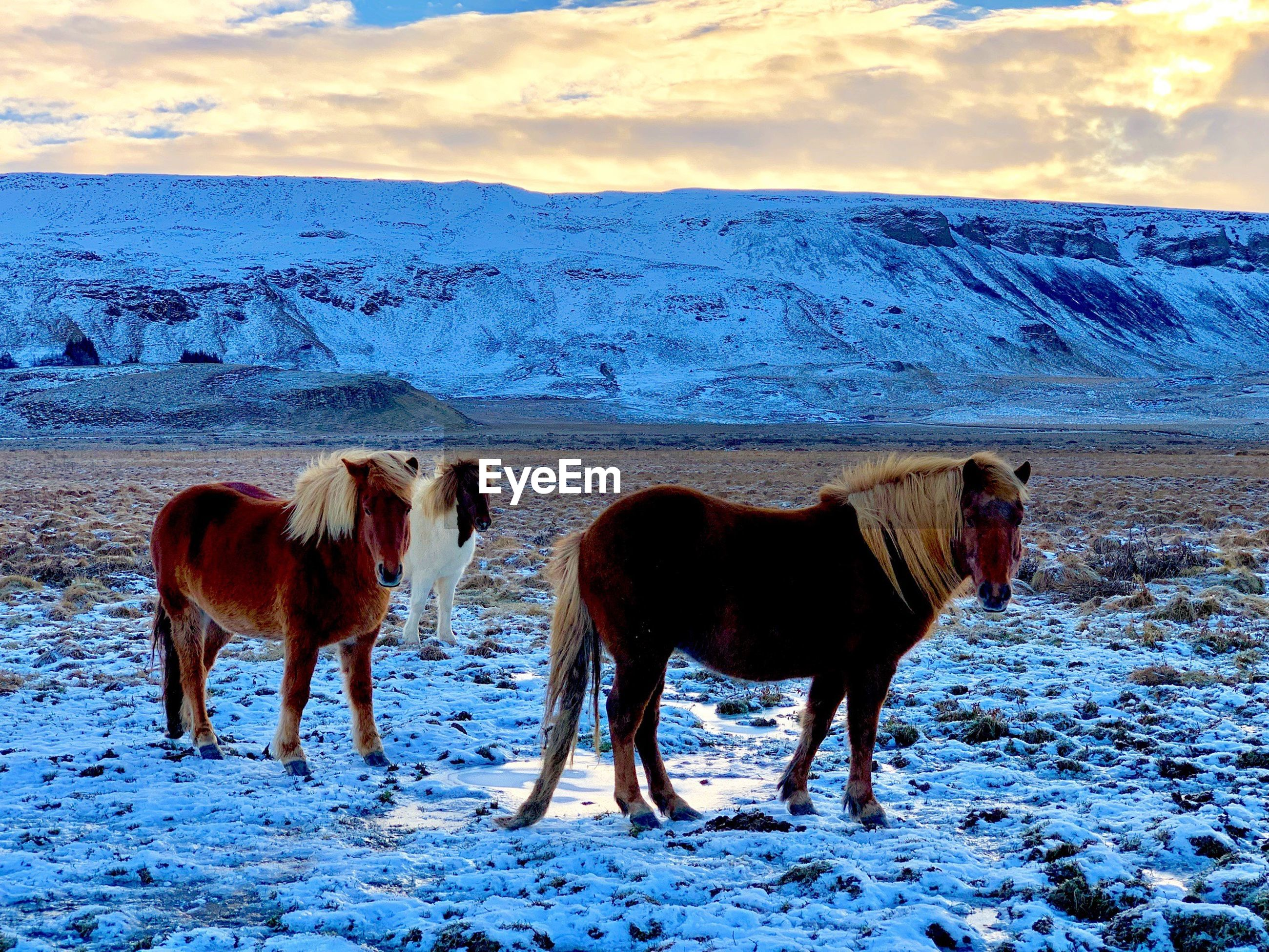 HORSES STANDING ON SNOW COVERED LAND AGAINST SKY