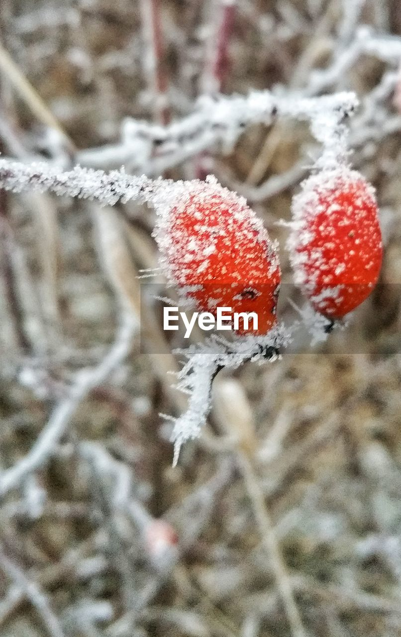 CLOSE-UP OF SNOW ON FRUIT