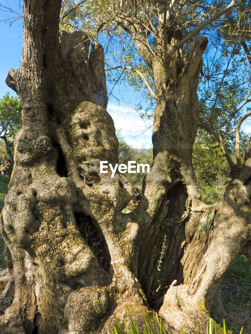 tree, tree trunk, day, growth, nature, sunlight, no people, outdoors, low angle view, branch, beauty in nature, forest, scenics, sky, close-up, ancient civilization