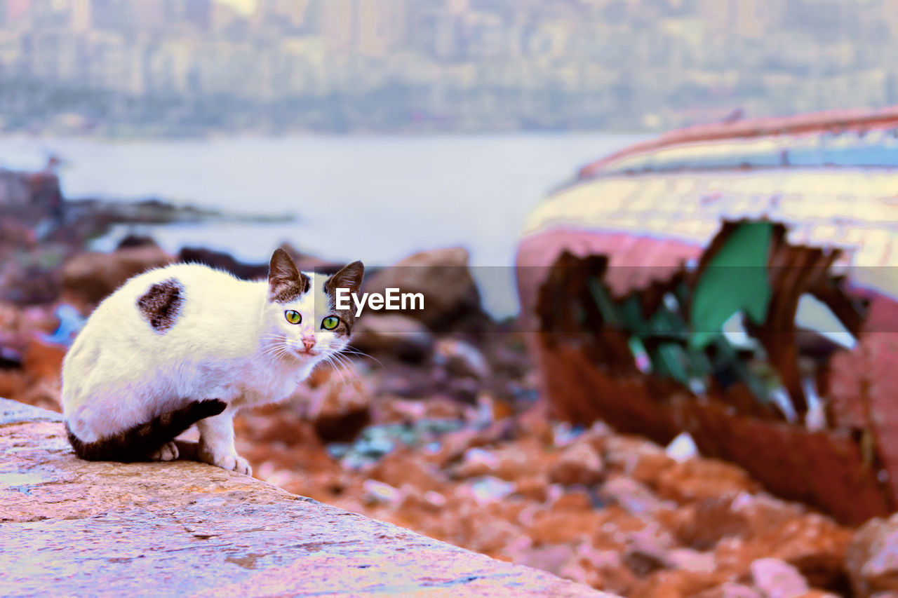 mammal, animal, animal themes, domestic, one animal, pets, vertebrate, domestic animals, domestic cat, cat, feline, no people, day, focus on foreground, nature, selective focus, looking at camera, close-up, outdoors, whisker