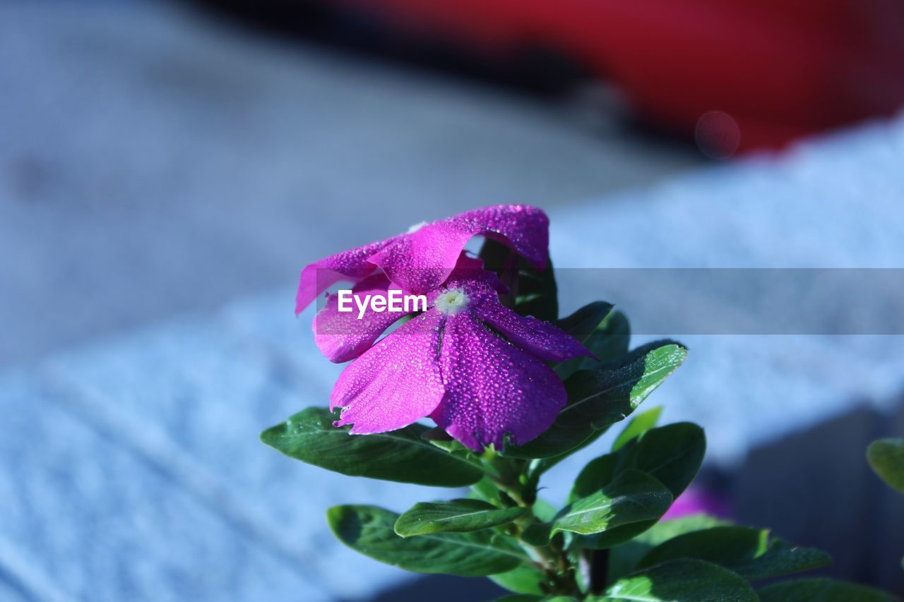 flower, purple, fragility, petal, freshness, nature, beauty in nature, pink color, focus on foreground, no people, close-up, leaf, flower head, outdoors, plant, day, water, petunia, periwinkle