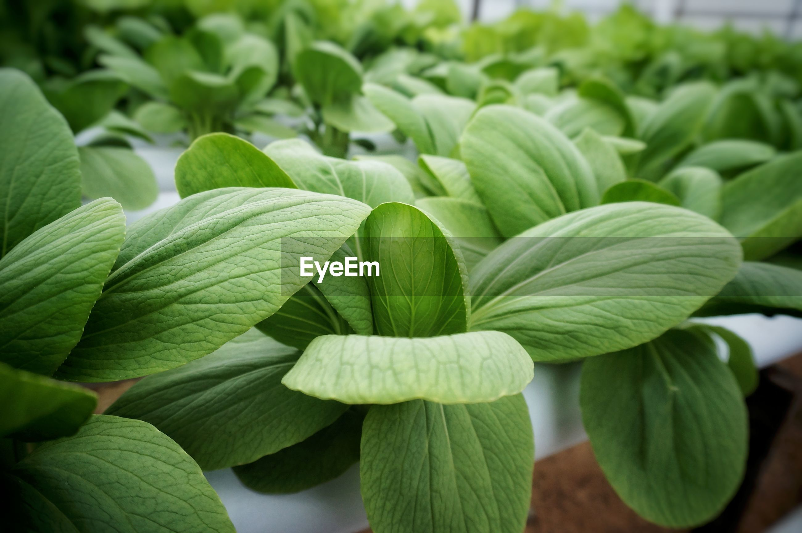 Close-up of green leaves in hydroponics farm