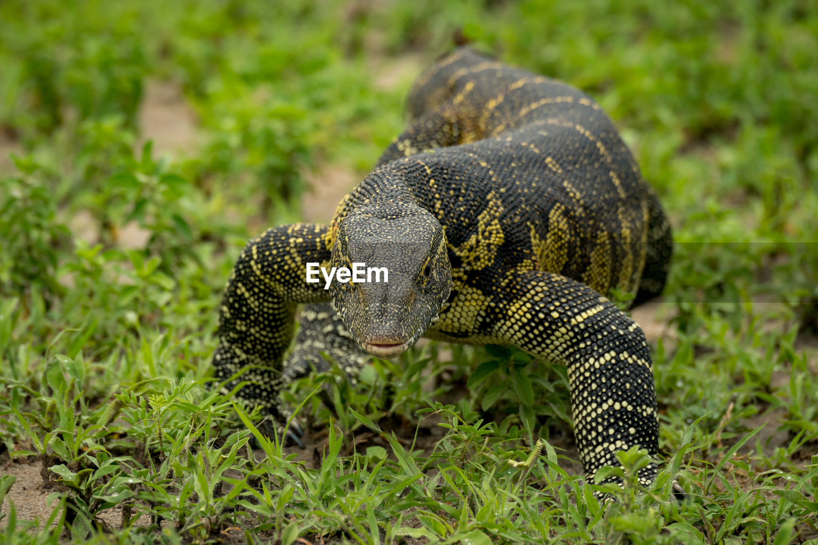 Close-up of monitor lizard on field