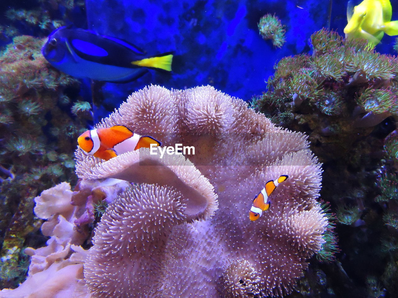 clown fish, underwater, sea life, undersea, coral, animal themes, animals in the wild, no people, nature, water, animal wildlife, sea, beauty in nature, sea anemone, close-up, day, outdoors