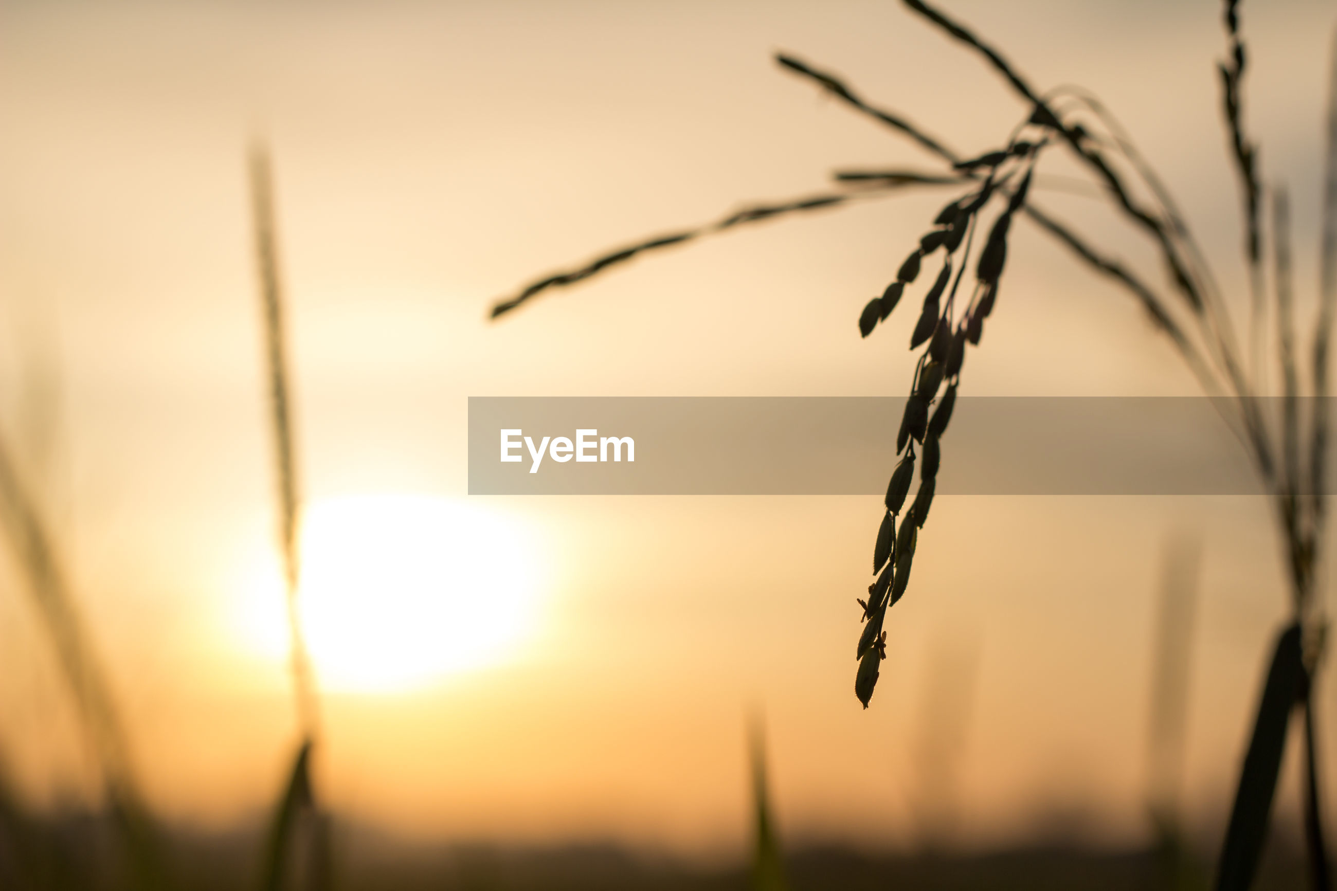 CLOSE-UP OF SILHOUETTE PLANT ON FIELD AGAINST SUNSET