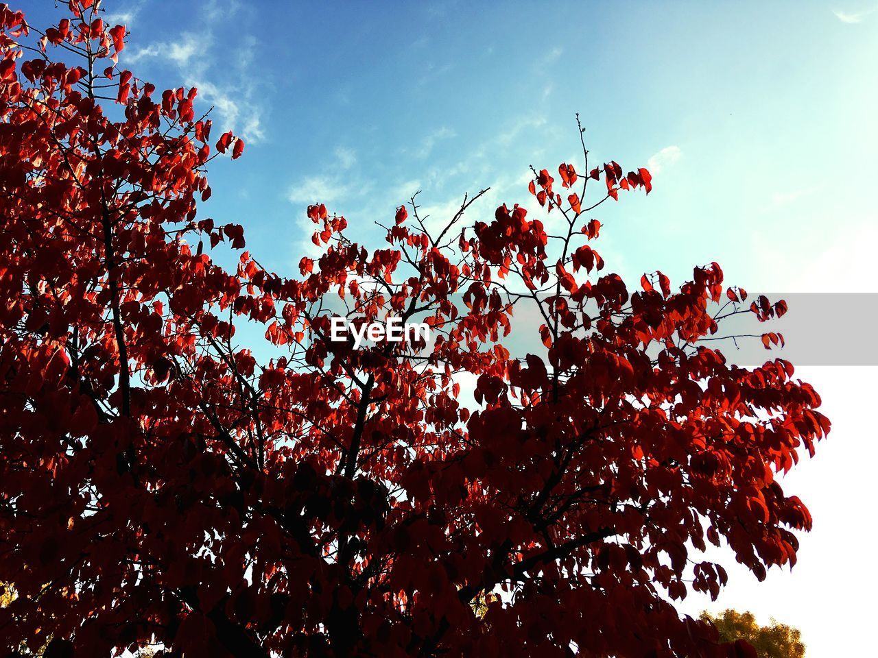 sky, tree, plant, low angle view, beauty in nature, growth, flower, nature, no people, cloud - sky, flowering plant, branch, day, red, freshness, outdoors, tranquility, springtime, blossom, sunlight, cherry blossom