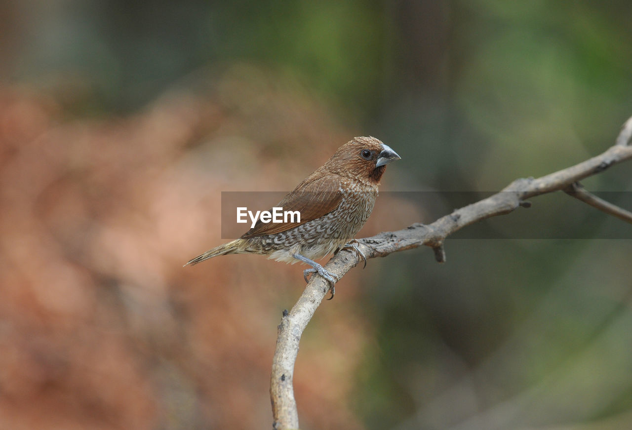 animal themes, bird, animals in the wild, animal wildlife, animal, vertebrate, one animal, perching, focus on foreground, day, plant, no people, branch, nature, close-up, tree, outdoors, selective focus, sparrow, twig, small