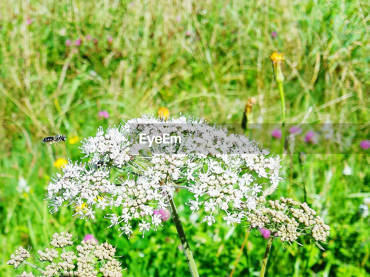 flower, nature, one animal, insect, animal themes, plant, fragility, animals in the wild, white color, beauty in nature, growth, focus on foreground, no people, day, petal, outdoors, field, freshness, close-up, flower head, pollination, bee, grass