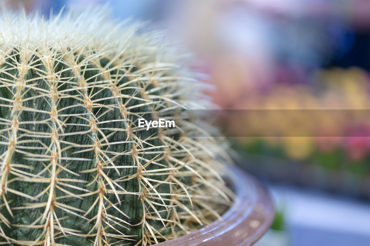 cactus, succulent plant, close-up, focus on foreground, thorn, barrel cactus, spiked, no people, potted plant, day, growth, sharp, plant, natural pattern, green color, beauty in nature, outdoors, nature, pattern, spiky