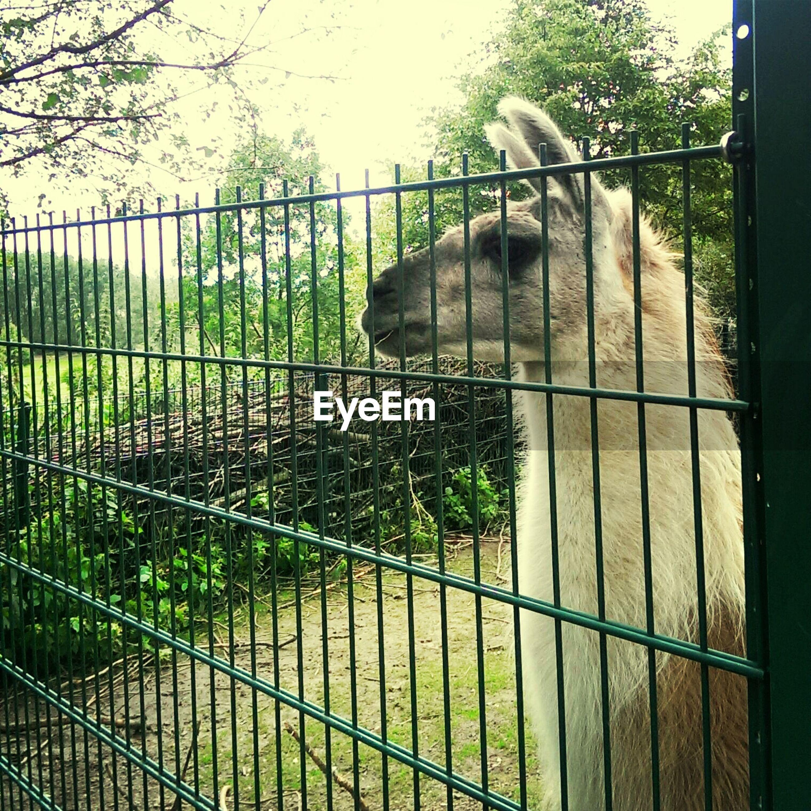 Llama seen through fence in zoo