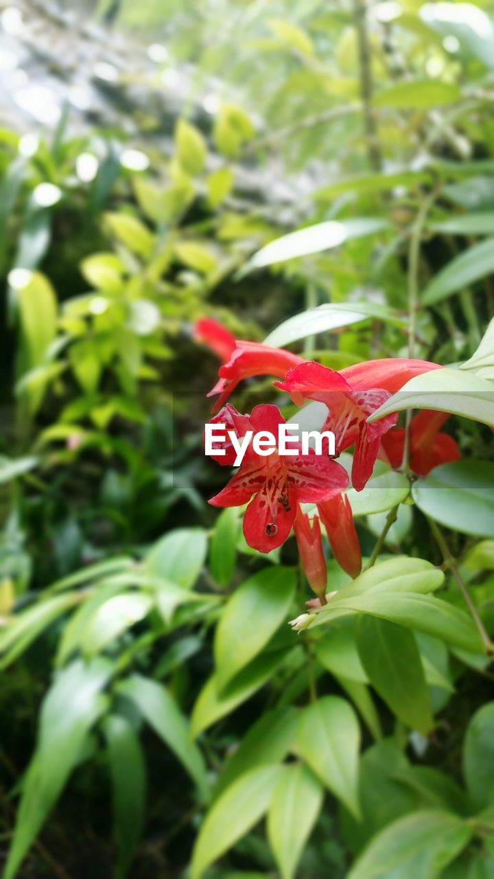 red, flower, growth, petal, fragility, beauty in nature, nature, freshness, day, flower head, plant, green color, outdoors, close-up, no people, hibiscus, blooming
