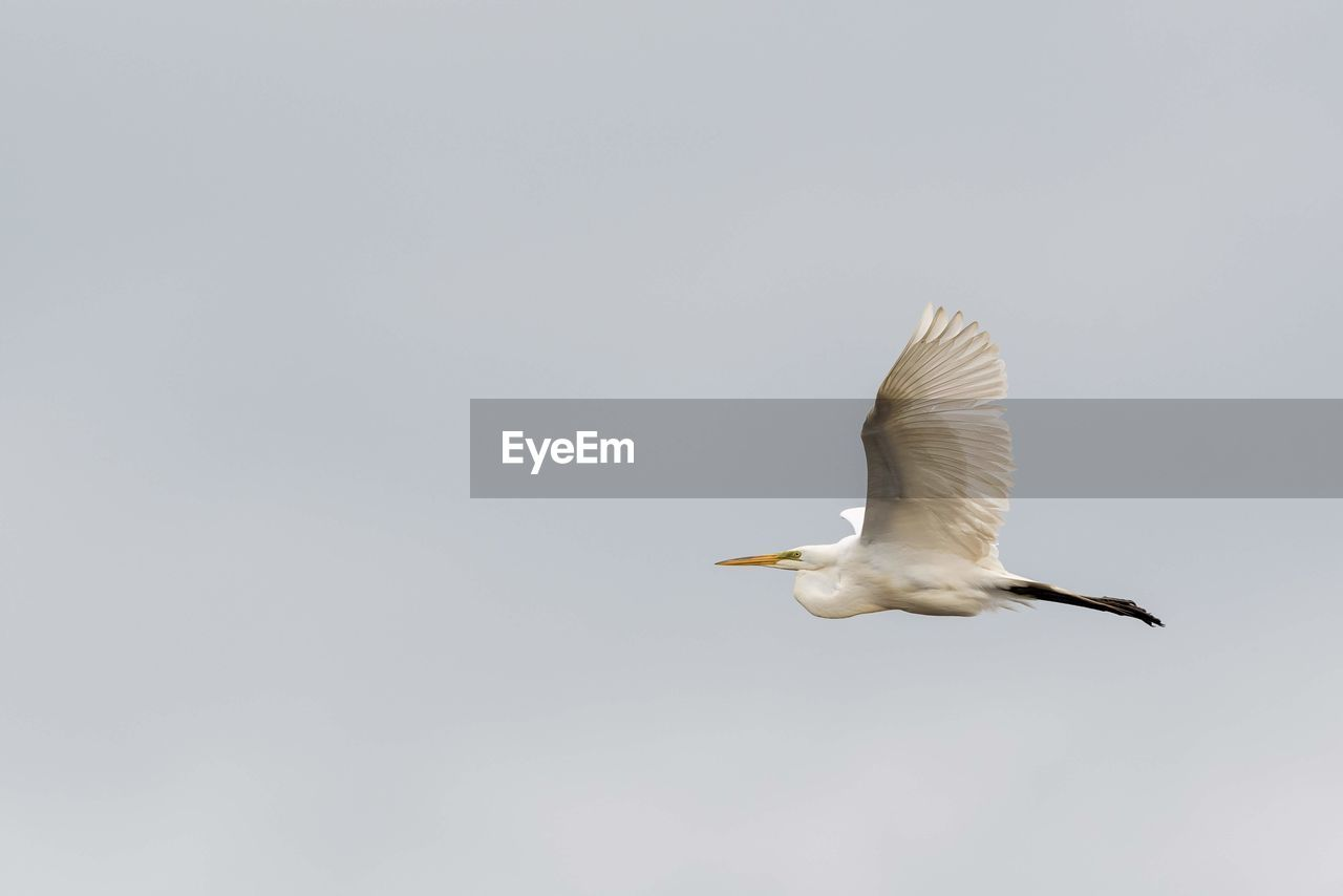 animal wildlife, animals in the wild, animal, animal themes, bird, vertebrate, flying, spread wings, one animal, sky, mid-air, copy space, low angle view, motion, no people, day, nature, clear sky, egret, white color, seagull