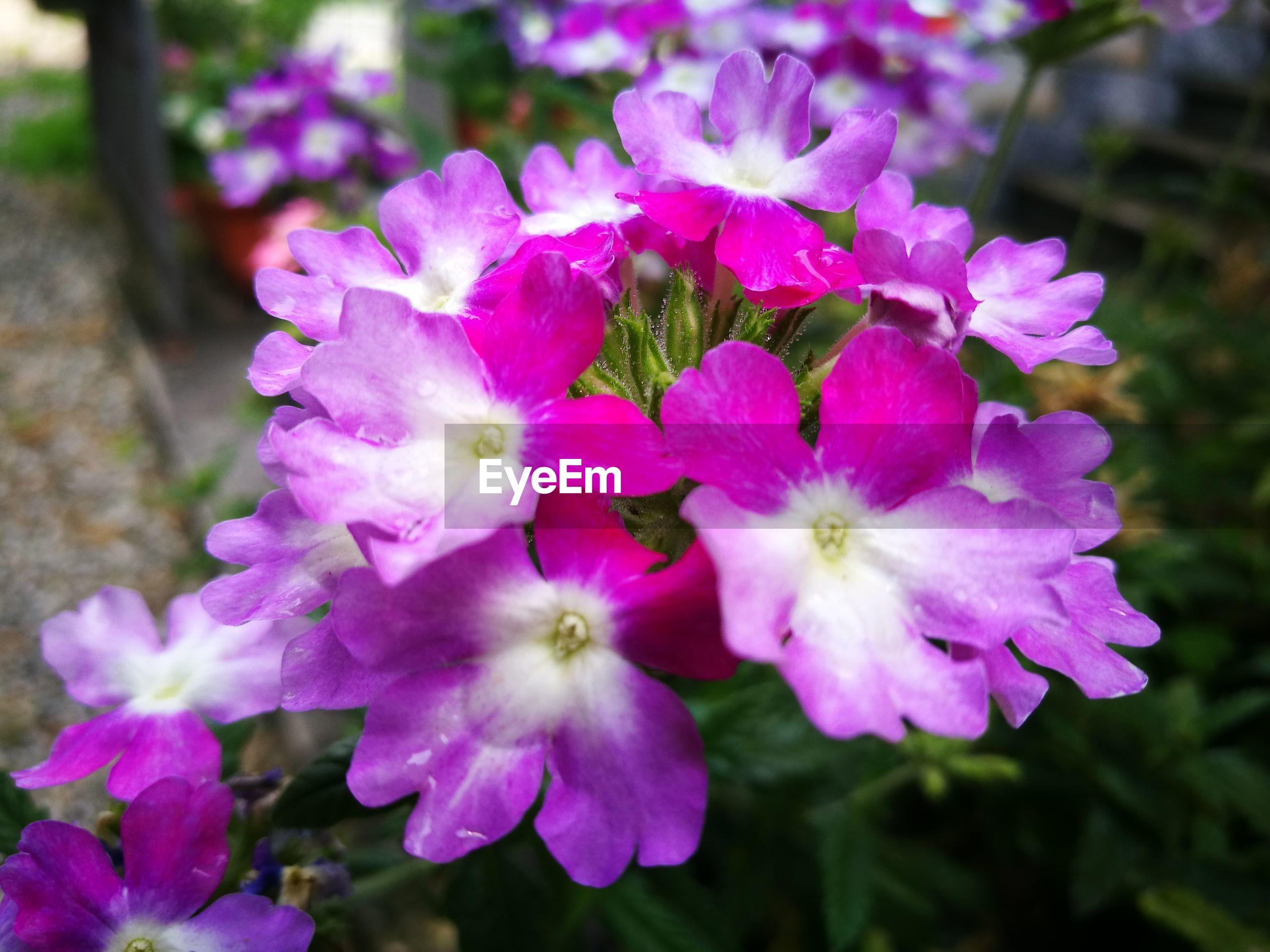 Close-up of purple flowers growing in garden