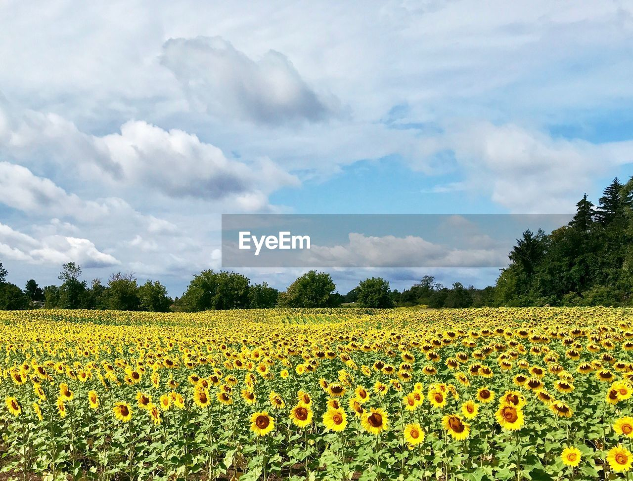 growth, field, beauty in nature, nature, yellow, flower, agriculture, cloud - sky, sky, rural scene, tranquility, day, plant, no people, landscape, outdoors, tranquil scene, scenics, freshness, tree, oilseed rape, fragility, flower head