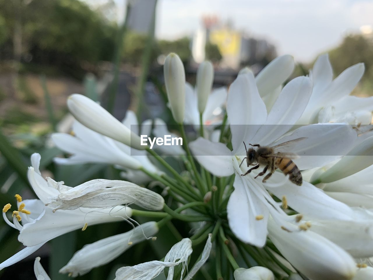 flower, invertebrate, flowering plant, animal themes, insect, beauty in nature, animals in the wild, animal wildlife, fragility, vulnerability, animal, petal, close-up, flower head, bee, plant, white color, one animal, growth, freshness, no people, pollen, pollination
