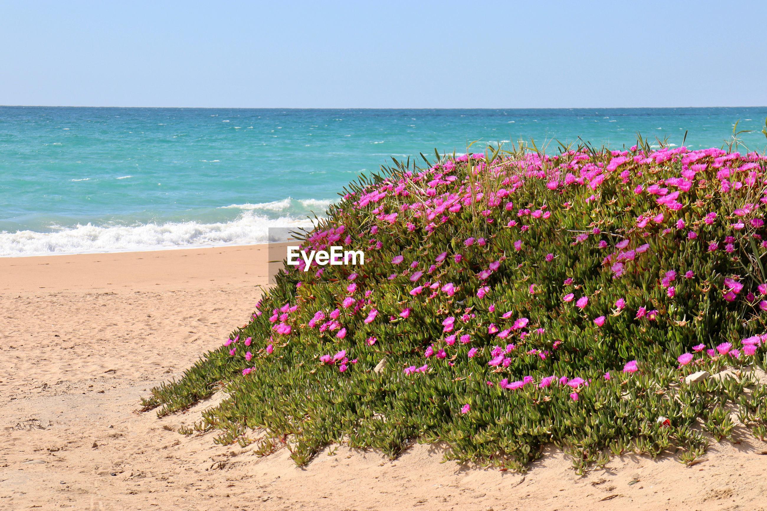 PINK FLOWERS ON BEACH AGAINST SEA