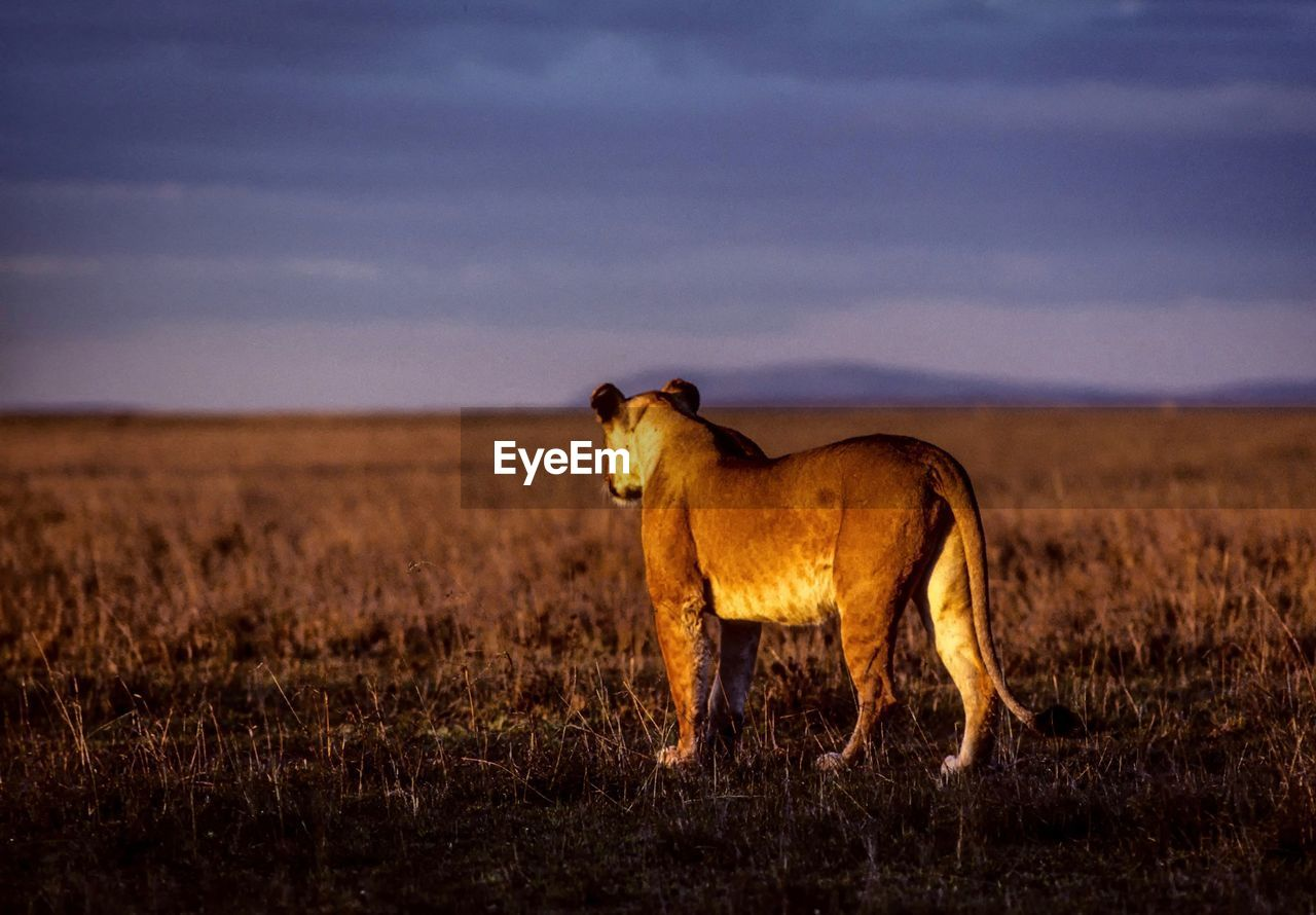 Animal Standing On Field