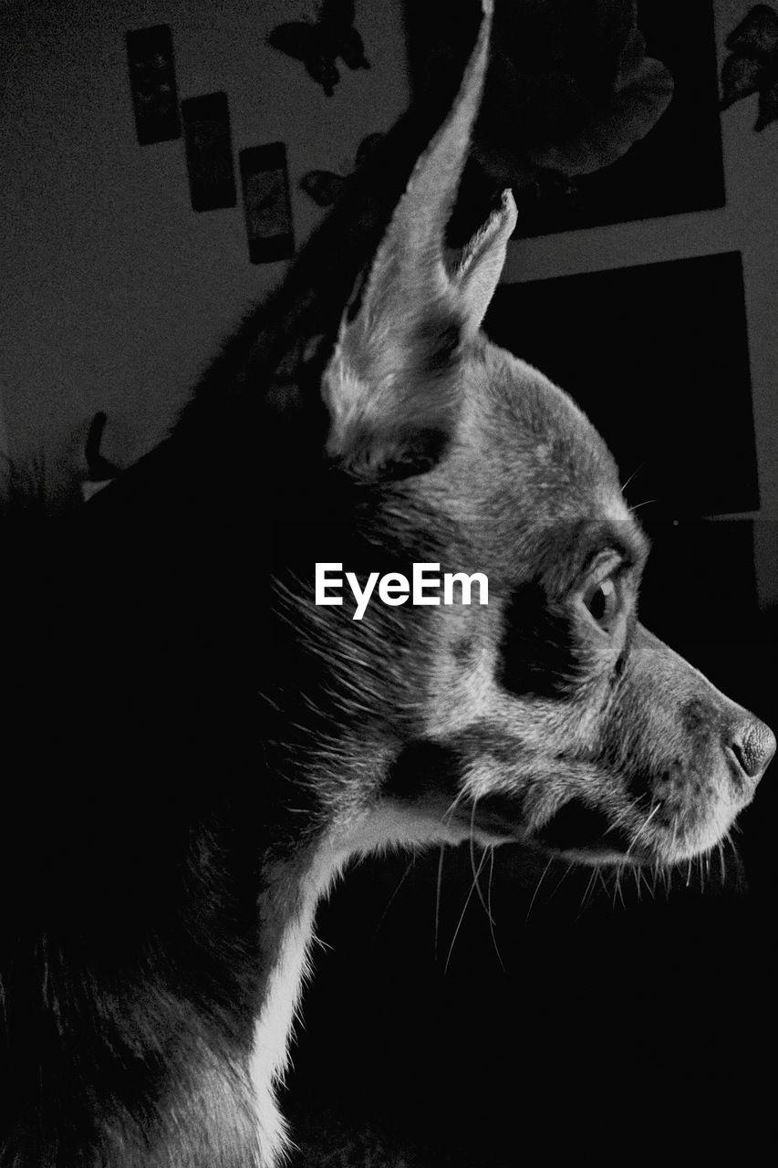one animal, animal themes, domestic animals, mammal, pets, dog, animal head, close-up, no people, indoors, day