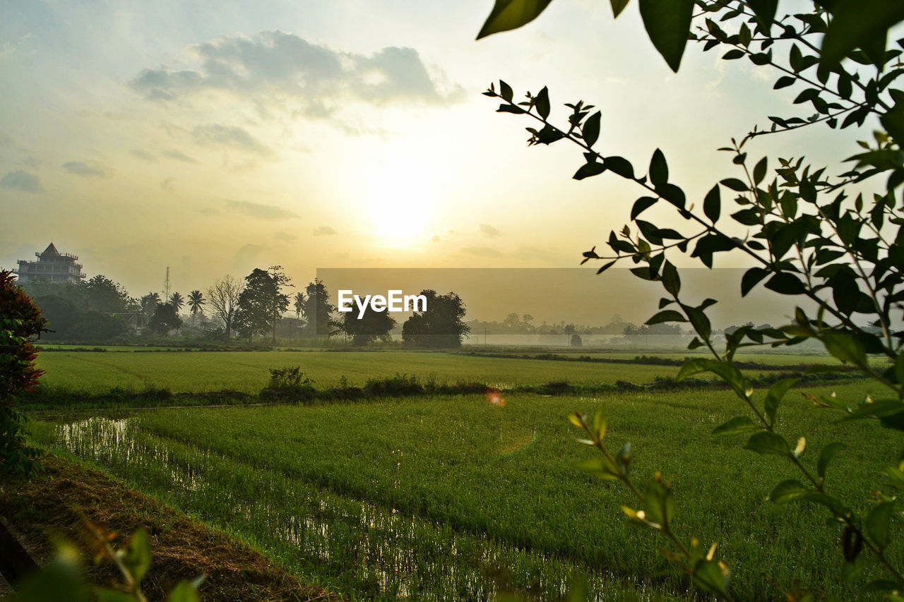landscape, beauty in nature, scenics - nature, field, sky, plant, tranquil scene, environment, land, tranquility, sunset, rural scene, growth, agriculture, nature, sun, farm, crop, tree, no people, outdoors, plantation
