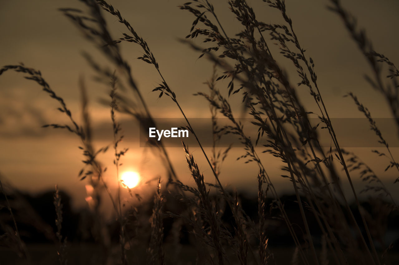 sunset, sky, beauty in nature, plant, growth, tranquility, silhouette, nature, no people, scenics - nature, tranquil scene, cloud - sky, field, sun, orange color, outdoors, land, sunlight, focus on foreground, selective focus, stalk, timothy grass