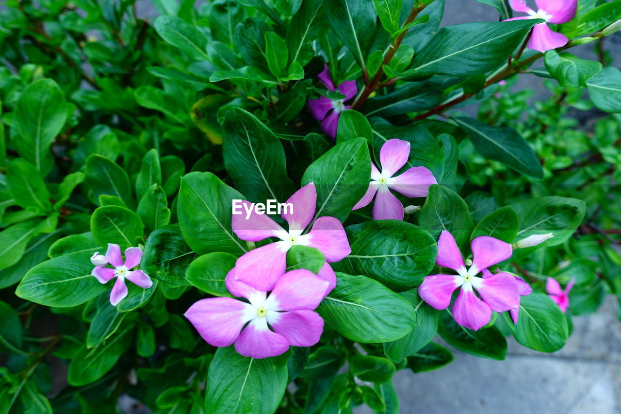 flowering plant, flower, plant, fragility, freshness, vulnerability, petal, beauty in nature, growth, plant part, leaf, inflorescence, flower head, green color, close-up, purple, pink color, day, nature, high angle view, no people, outdoors