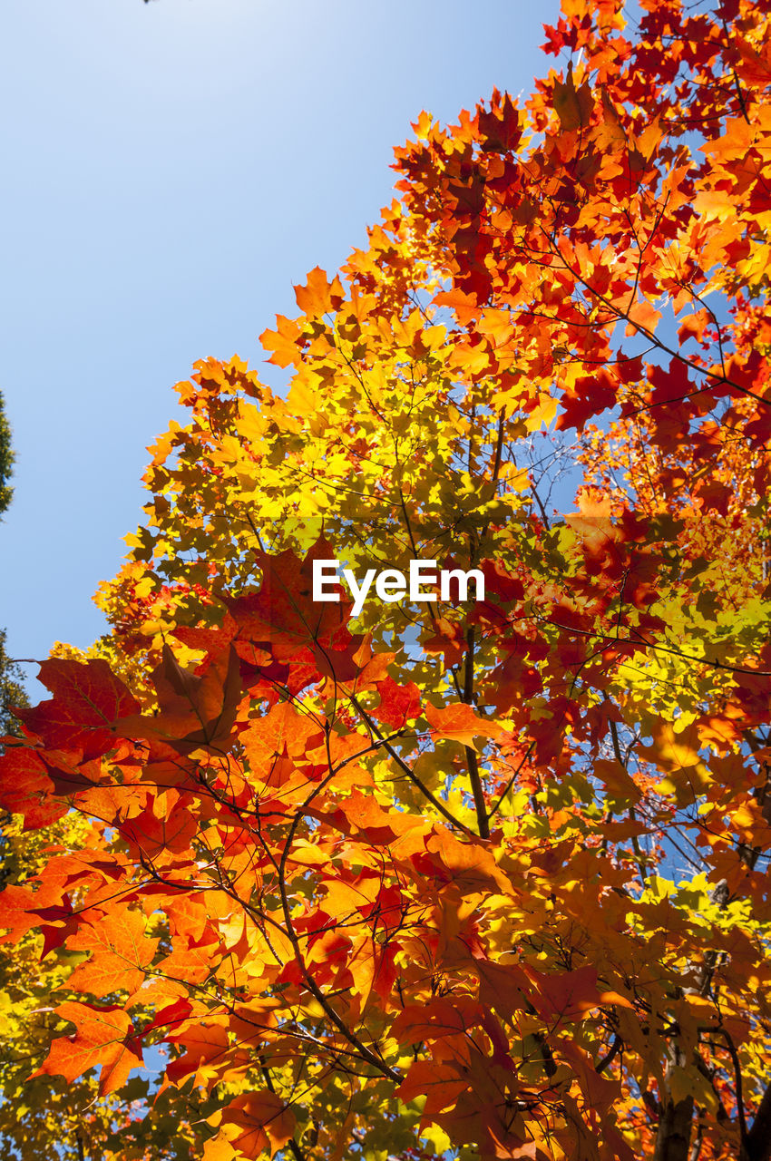 low angle view, growth, tree, flower, nature, orange color, autumn, beauty in nature, yellow, outdoors, no people, leaf, day, branch, freshness, maple tree, plant, clear sky, fragility, sky, close-up