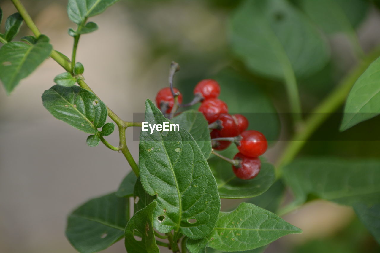 leaf, plant part, food and drink, fruit, food, growth, green color, close-up, healthy eating, freshness, plant, red, nature, focus on foreground, selective focus, day, berry fruit, no people, wellbeing, beauty in nature, outdoors, ripe