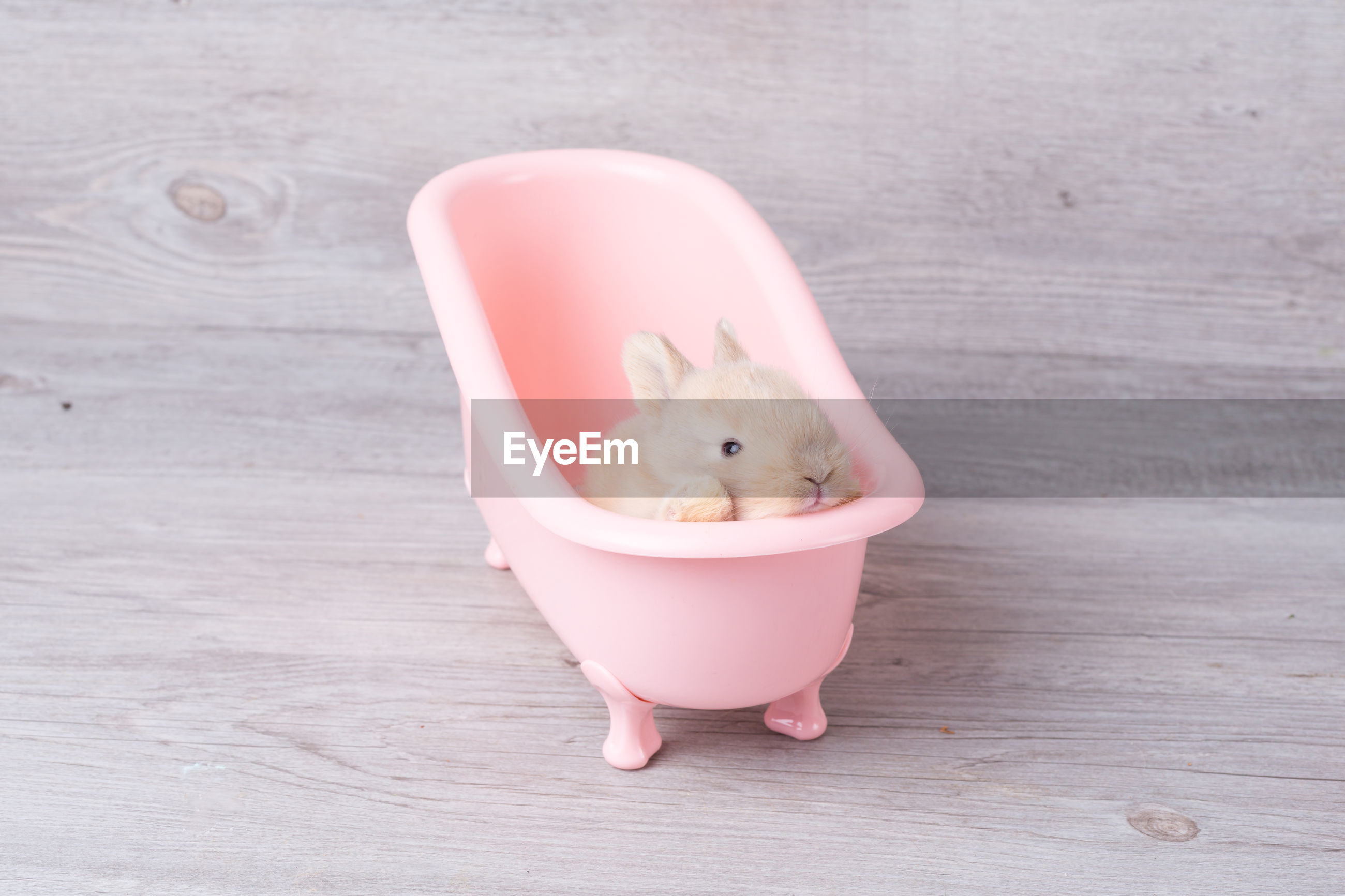 Cute little rabbit on a pink bathtub. rabbit that is cute and precise according to breed standards.