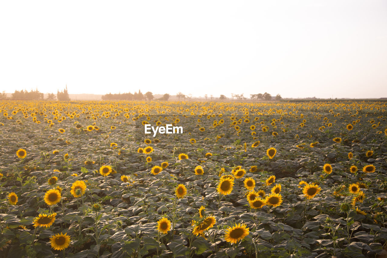 sky, plant, yellow, beauty in nature, flower, flowering plant, field, nature, landscape, growth, land, flower head, freshness, environment, copy space, clear sky, fragility, day, tranquility, vulnerability, no people, sunflower, outdoors, flowerbed