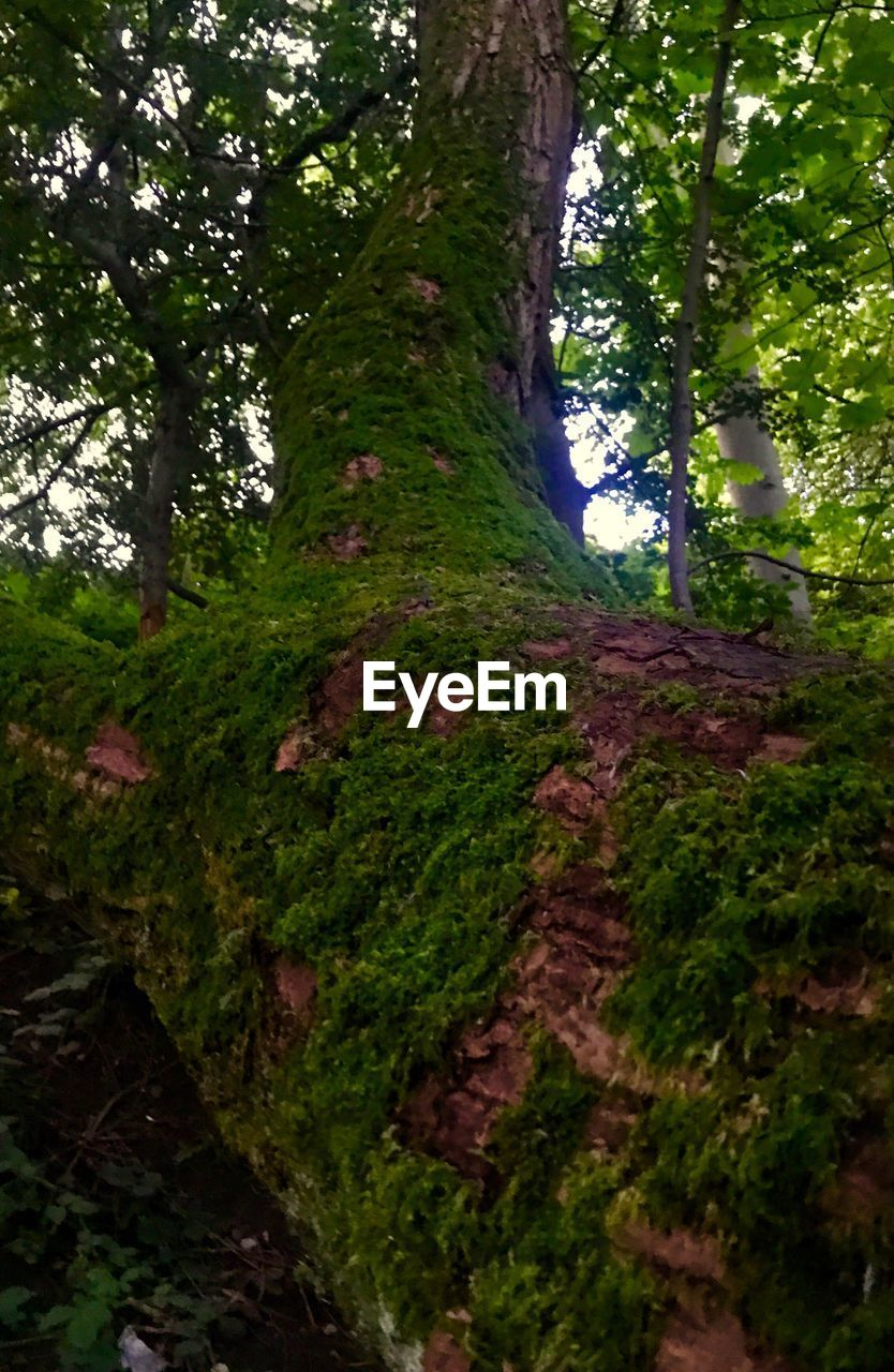 tree, nature, tree trunk, growth, beauty in nature, tranquility, forest, tranquil scene, scenics, green color, day, moss, no people, outdoors, landscape, low angle view, branch, grass, sky