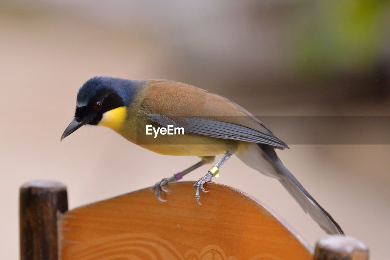 bird, animal themes, animal, vertebrate, animal wildlife, animals in the wild, one animal, perching, focus on foreground, close-up, day, no people, wood - material, yellow, nature, outdoors, selective focus, side view, railing, great tit
