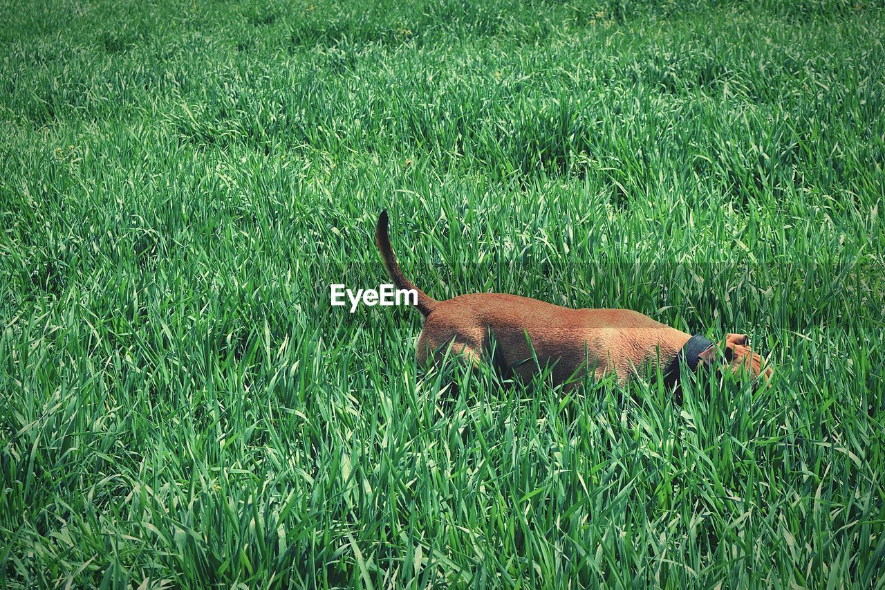 Dog standing in grassy field