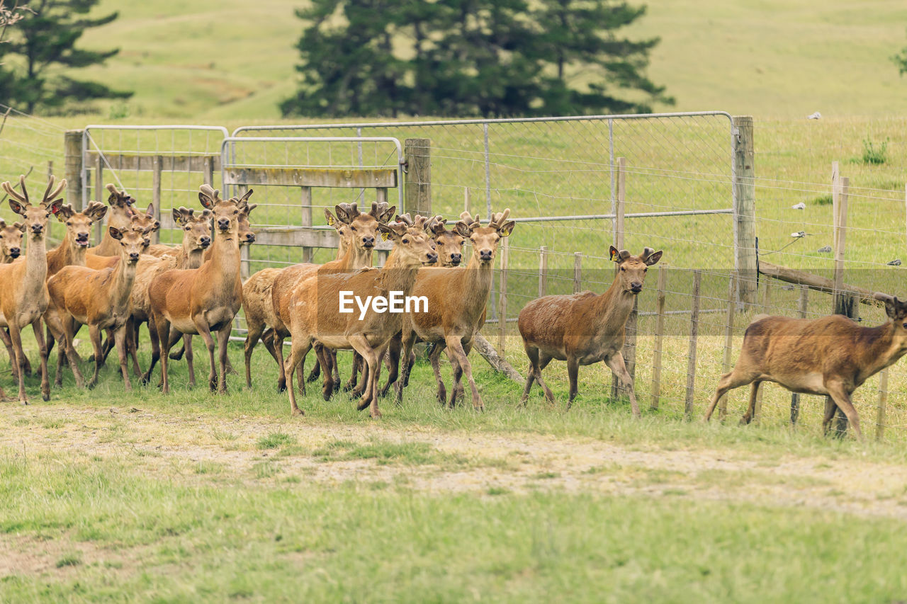 mammal, animal, animal themes, group of animals, animal wildlife, grass, field, land, domestic animals, vertebrate, animals in the wild, livestock, plant, no people, nature, deer, herd, day, landscape, herbivorous, outdoors