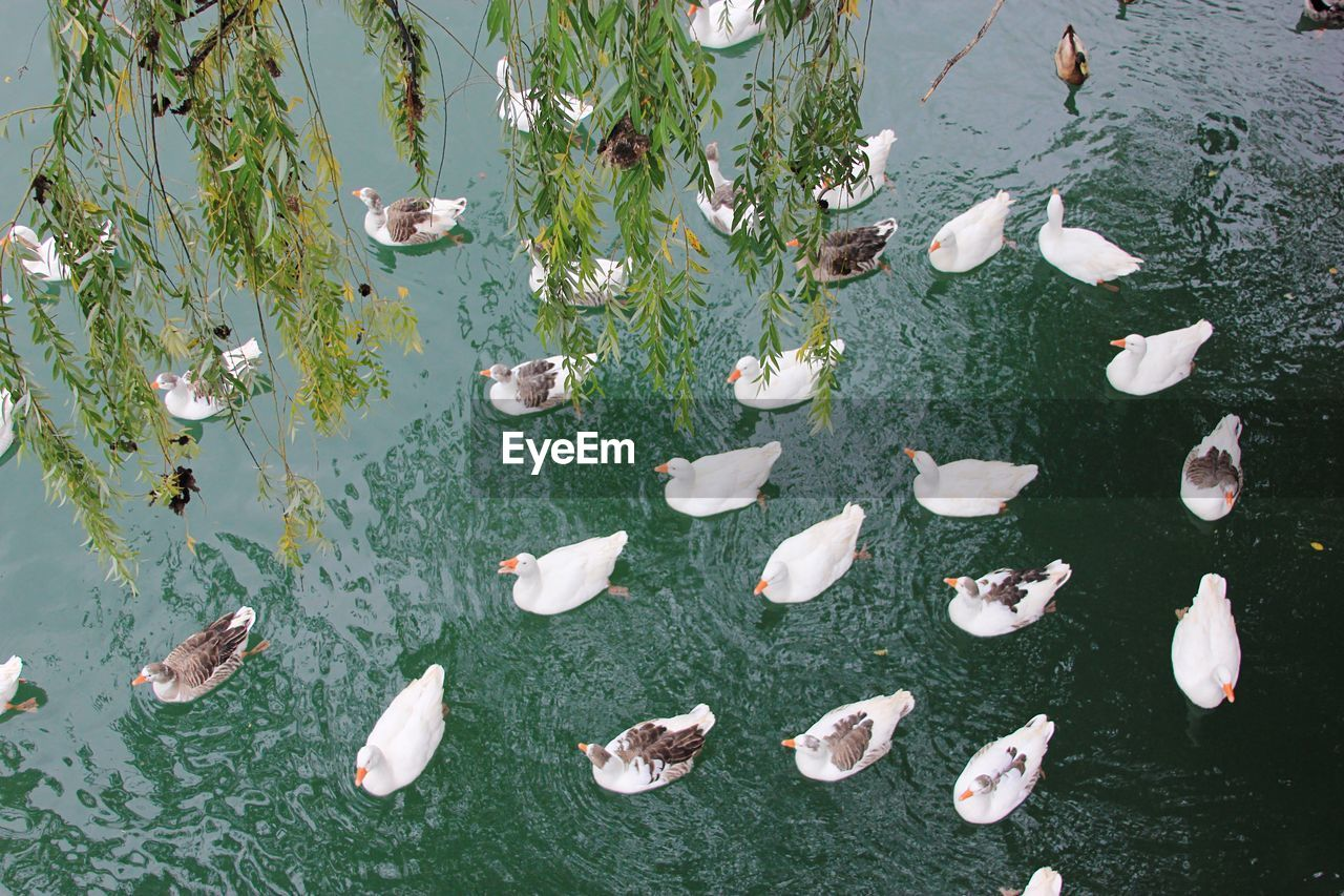 water, lake, animal wildlife, nature, swimming, animal, high angle view, group of animals, vertebrate, animals in the wild, large group of animals, animal themes, beauty in nature, plant, no people, day, floating, fish, waterfront, floating on water, duck, outdoors, leaves, marine
