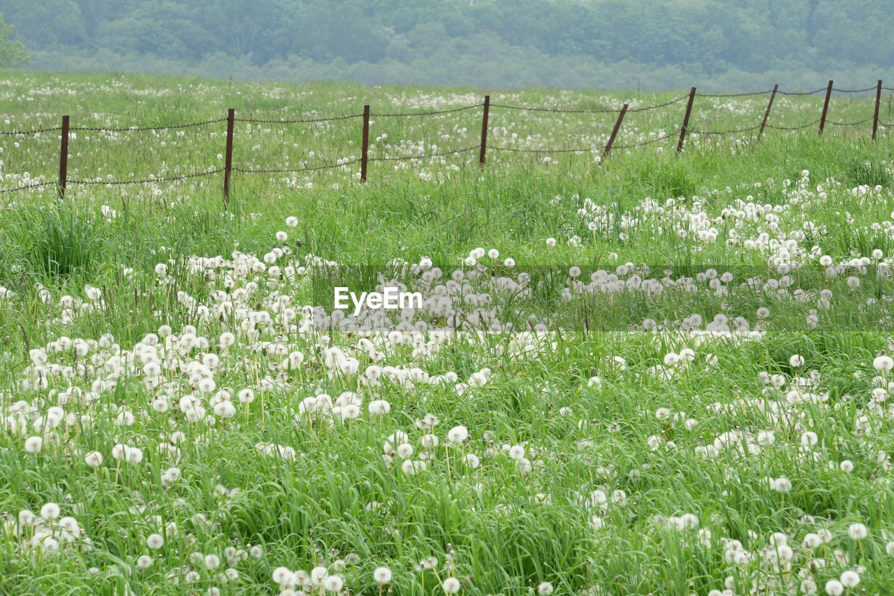 plant, flowering plant, flower, beauty in nature, field, land, growth, grass, tranquility, nature, tranquil scene, no people, fence, barrier, freshness, boundary, landscape, day, fragility, scenics - nature, springtime, outdoors