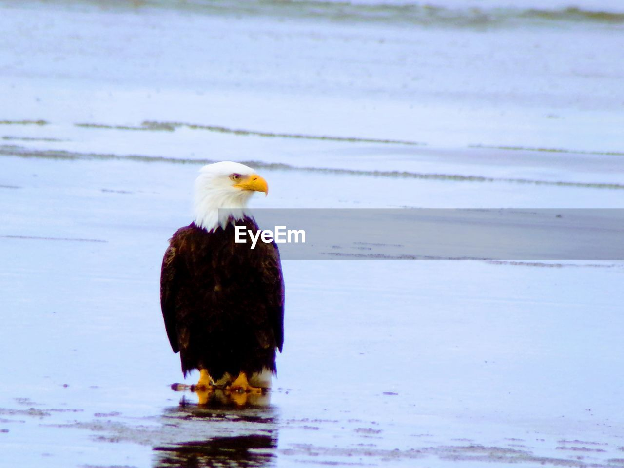 one animal, bird, animal themes, water, animals in the wild, animal wildlife, nature, bald eagle, no people, beauty in nature, day, outdoors, close-up, bird of prey