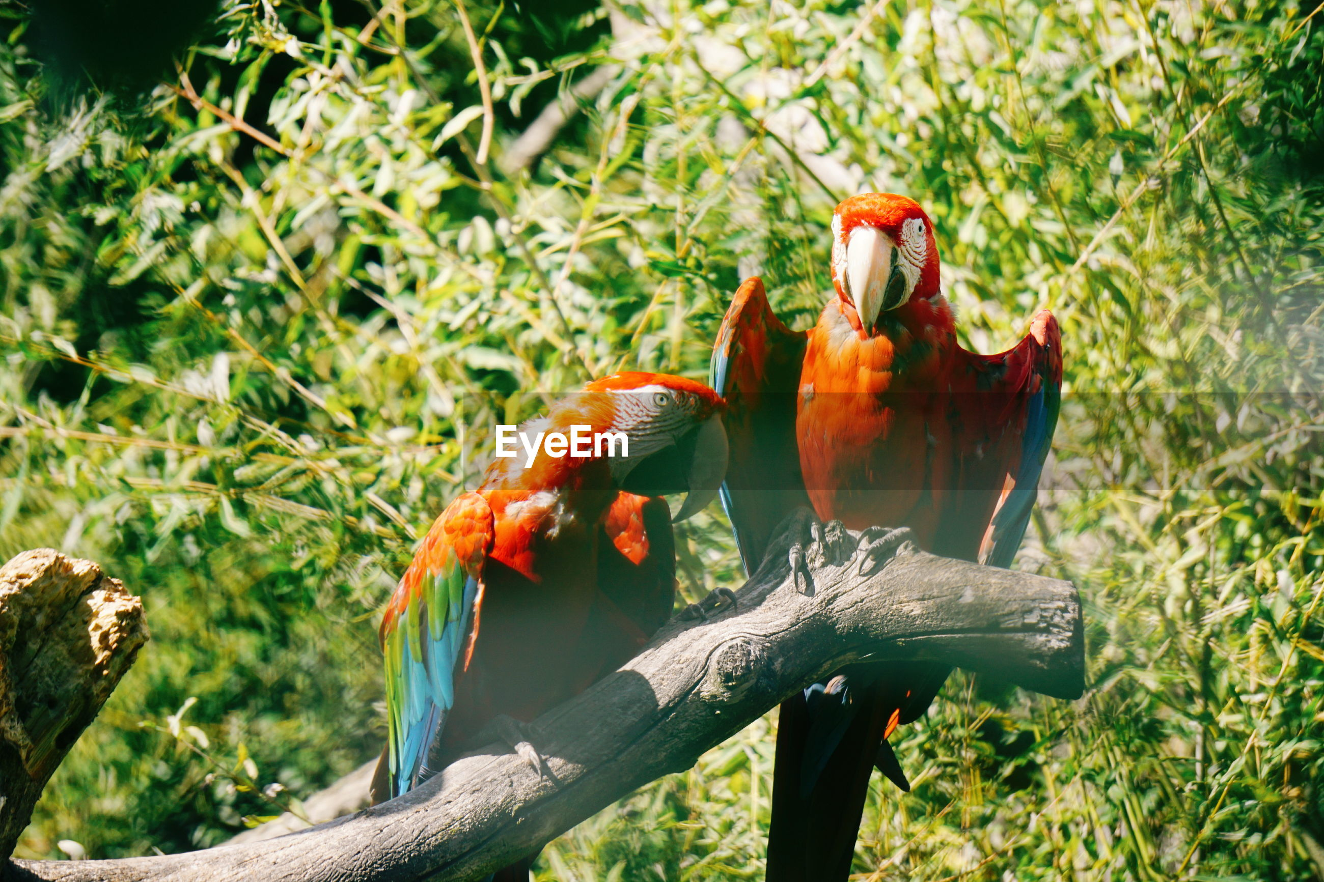 Close-up of macaws perching on tree